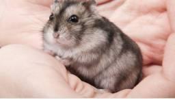 Hamster doação
