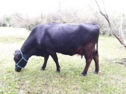 Vendo Vaca e Terneiro