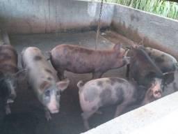 Vende se porcos  caipira...