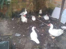 Patos Paysandu raça pura