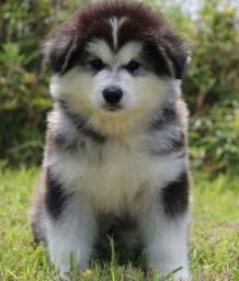 Título do anúncio: Filhotes de Husky Siberiano, variadas cores disponiveis.