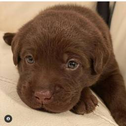 Labrador - FilhotesLindos e Saudáveis