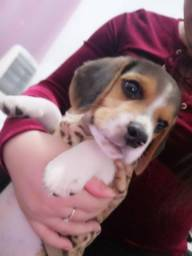 Beagle em blumenau