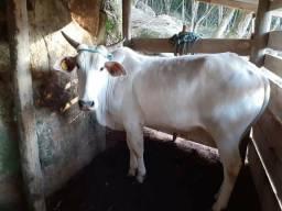 Vendo boi nelore
