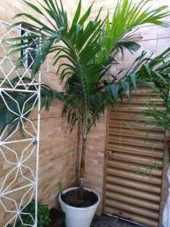 Palmeira grande