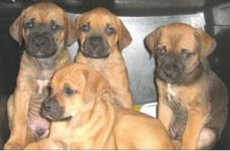 Boxer x labrador so 150 cada. chama no whats: * entregamos