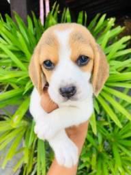 Beagle Filhote 13 Polegadas com Pedigree