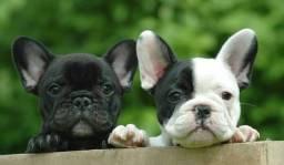 Bulldog Frances macho filhotes lindos a sua espera!