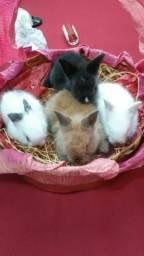 Filhotes de coelhos mini lion