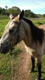 Vendo cavalo pantaneiro libuno manso