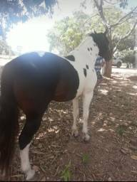 Cavalo PAINT