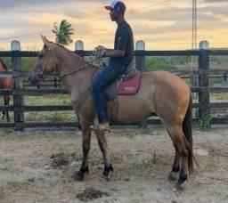 Cavalo castrado Campolina registrado de marcha picada 4 anos