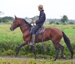 Cavalo Campolina de Marcha Picada