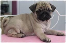 Pug com pedigree em 6x sem juros