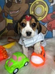 Beagle disponível com garantias