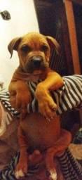 Pitbull American Stafford Shire Terrier