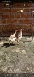 Vende-se um casal galo e galinha raça barrigueiro