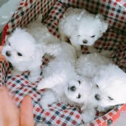 Canil Os Melhores Filhotes Cães BH Maltês Poodle Yorkshire Lhasa Shihtzu Pug