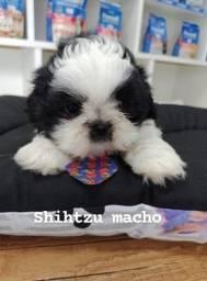 Shihtzu macho
