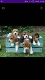 Lindas fêmeas de beagle com pedigree garantia de saúde pronto a entrega