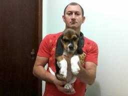 Vendo beagle macho vacinado e vermifugado pais com pedegree