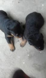 Filhote de rottweiler puro