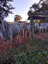 Vacas Tabapuã