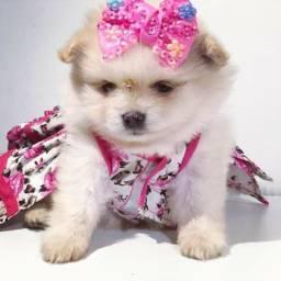 Beleza Rara!!!! Lulu da Pomerânia anã
