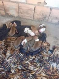 Filhotes de pitbull APBT puro de pai e mãe