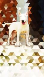 Bull terrier/cobertura