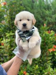 Golden Retriever - Filhotes Lindos e Saudáveis !!! Com Pedigree