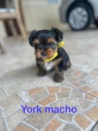 Yorkshire macho micro
