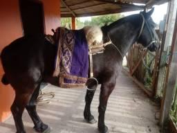 Vendo cavalo cruza perch
