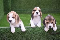 Fofuxos filhotes de Beagle, venha conferir e se apaixonar!