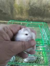 Hamster anão Russo lindos