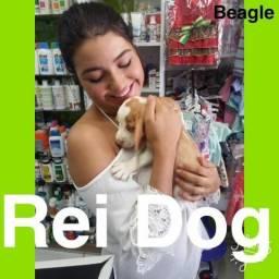 Beagle em 12x lindos rei dog lojas maceio