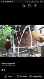 Ovos ferteis ornamental