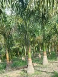 Palmeira Imperial - Planta