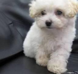 Procuro filhote de poodle branco ou cor de mel