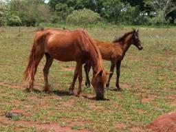 Égua prenha e com podrinho