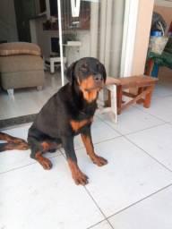 Título do anúncio: Vendo um filhote de Rottweiler