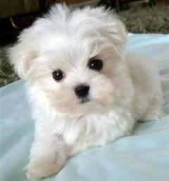 Lindo filhote de Maltes com poodle1. *