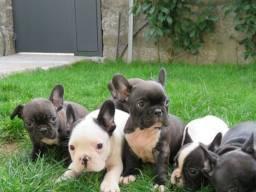 Bulldog Francês filhotes, parcele nas melhores condições