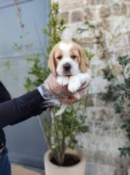 Beagle filhotes com todo cuidado e suportes