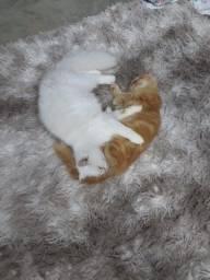 Gatos persas *