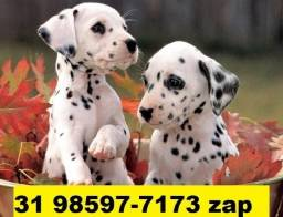 Canil Filhotes Cães Grande Porte BH Dálmata Golden Labrador Akita Rottweiler Pastor