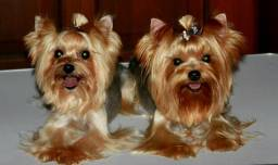 Canil Em Promocao -Yorkshire Terrier