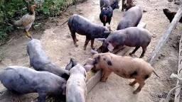 Porcos e galinha