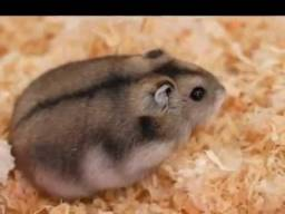 Hamster Chines