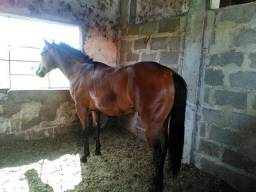 Cavalo quarto de milha puro linhagem velocidade
